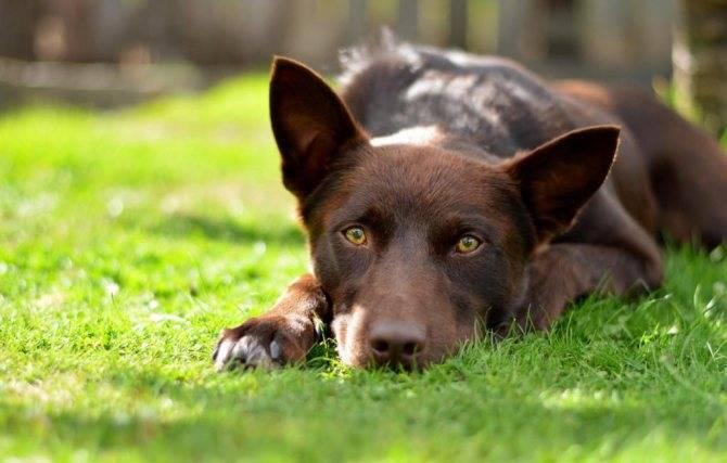 Австралийская овчарка: характеристика породы