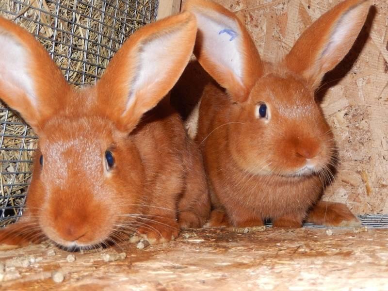 Мечта кроликовода — новозеландская порода кроликов