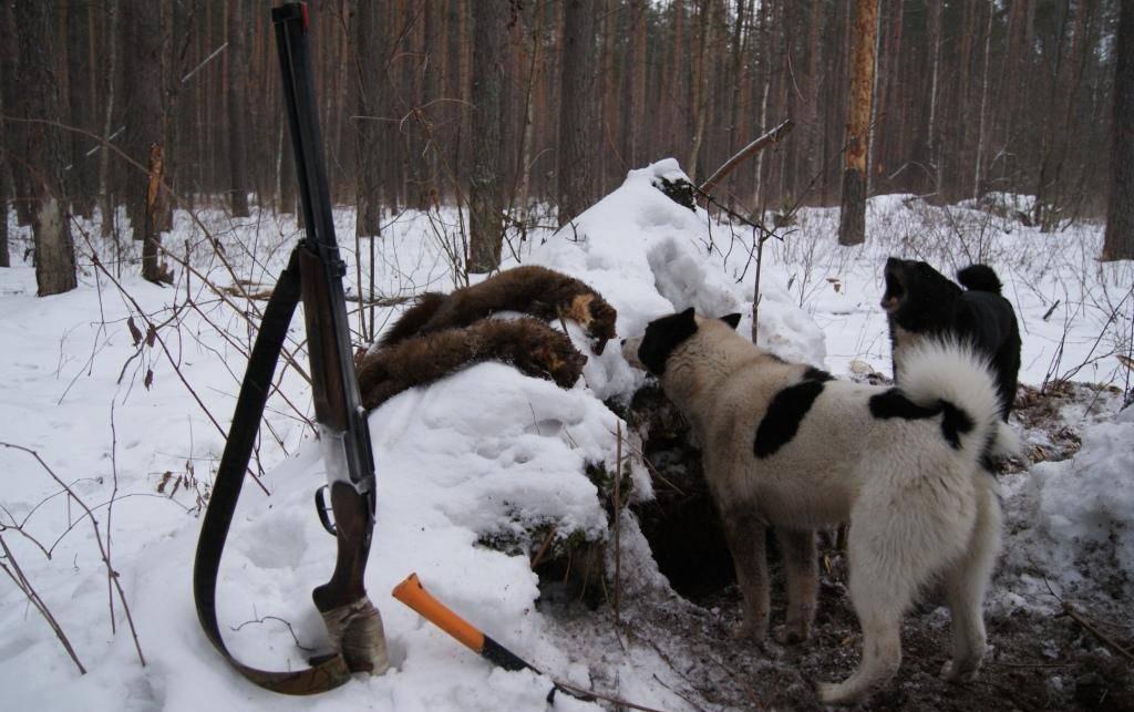 Лось. подготовка собаки к охоте на лося. азы охоты | лайки урал