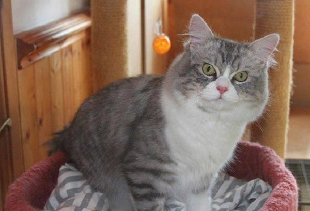 Порода кошек рагамаффин: фото, описание породы, содержание, уход и стоимость