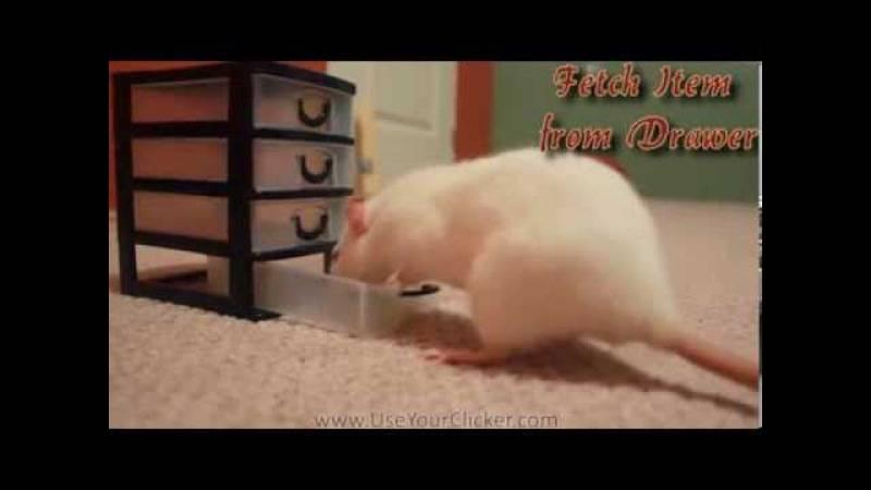 Зачем нужны шлейки и поводки для крыс