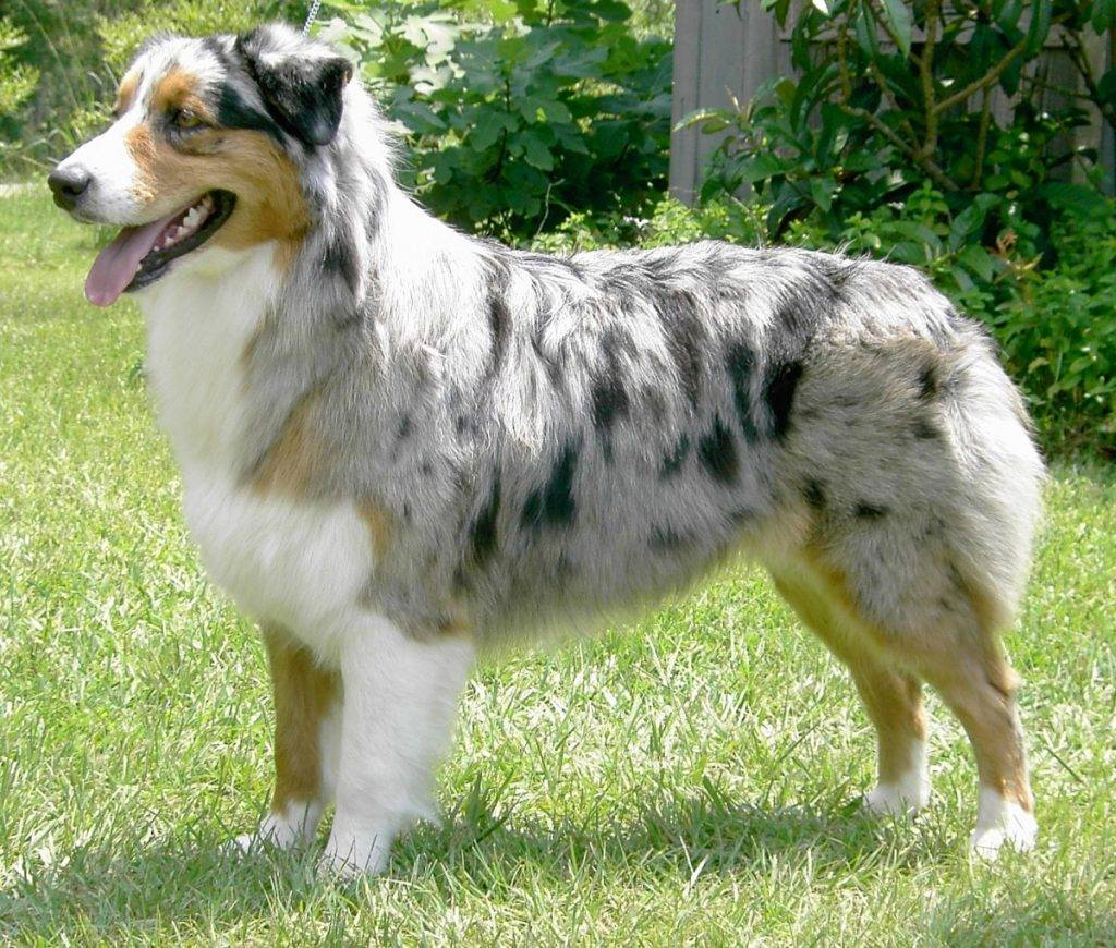 Австралийская овчарка собака. описание, особенности, уход и цена австралийской овчарки