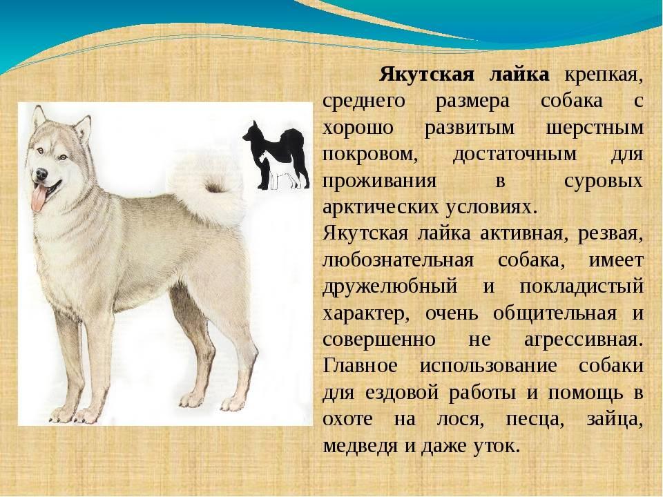 Виды лаек: названия, описание с фото, характеры собак и правила ухода - truehunter.ru