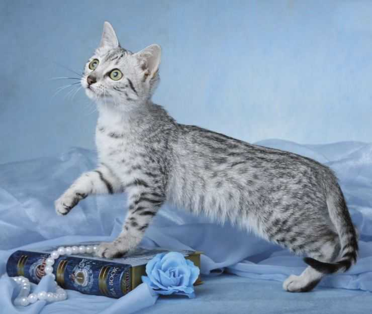 Египетская мау: описание древней породы кошек и особенности характера