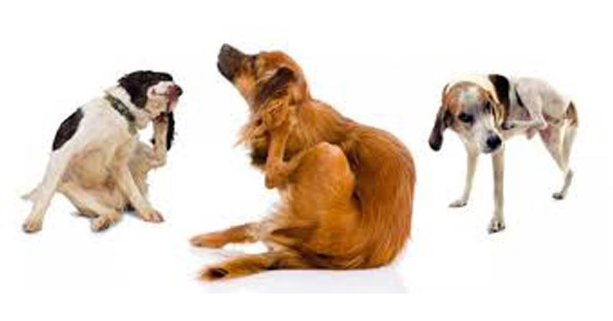 По каким причинам собаки могут постоянно лизать анус под основанием хвоста