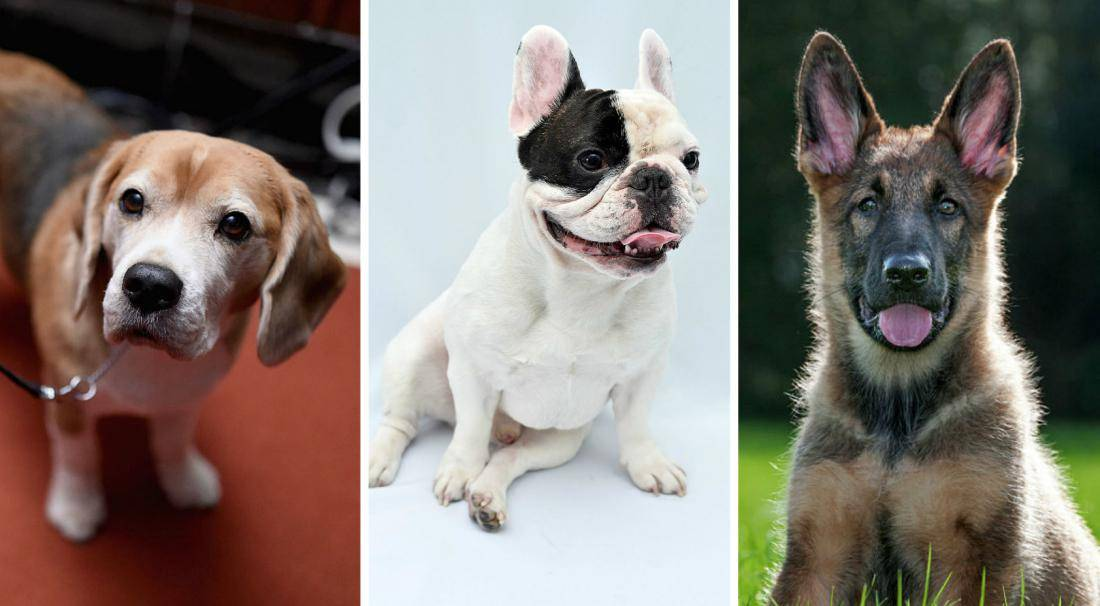 Топ 21 самых дорогих собак в мире