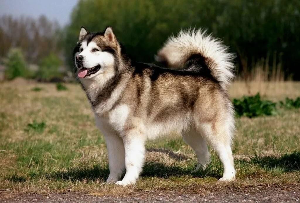 Аляскинский маламут – энциклопедия о собаках