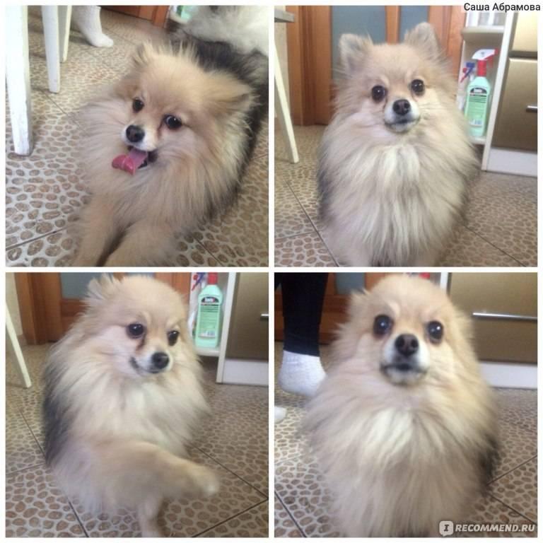 Чем кормить померанского шпица: 3 схемы кормления щенка