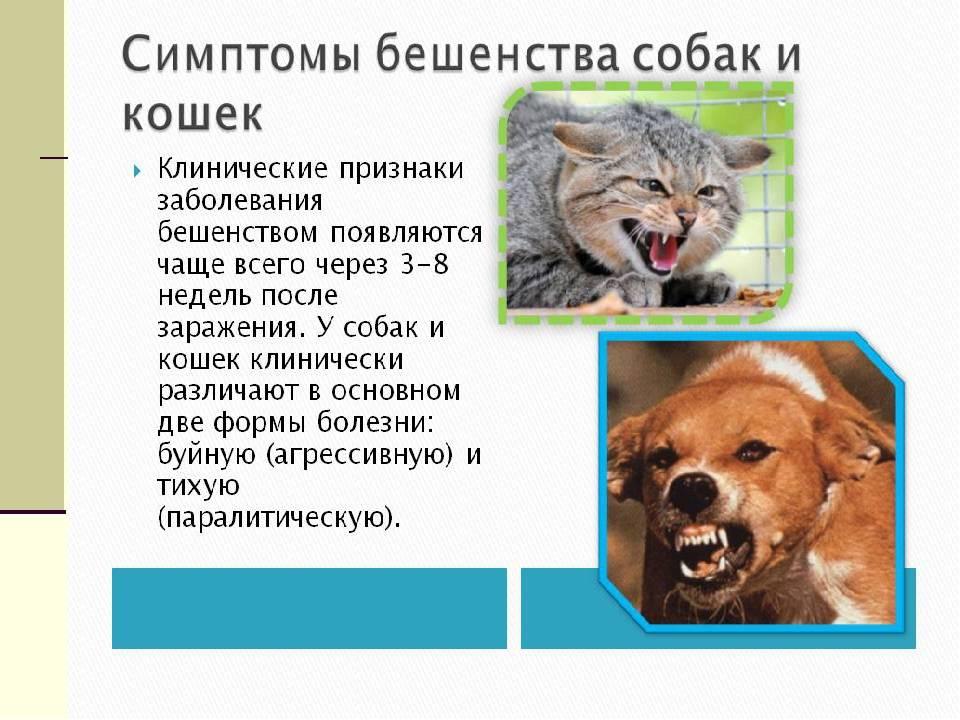 Симптомы бешенства у кошек: первые признаки заражения и формы развития болезни