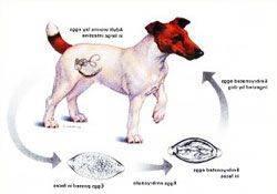Глисты у собаки: симптомы и лечение