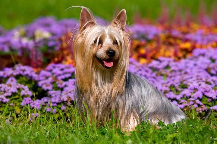 Собака австралийский шелковистый силки терьер - характеристика породы