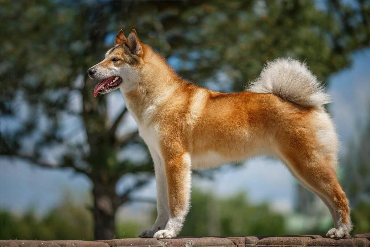 Русские породы собак — обзор с фотографиями и названиями