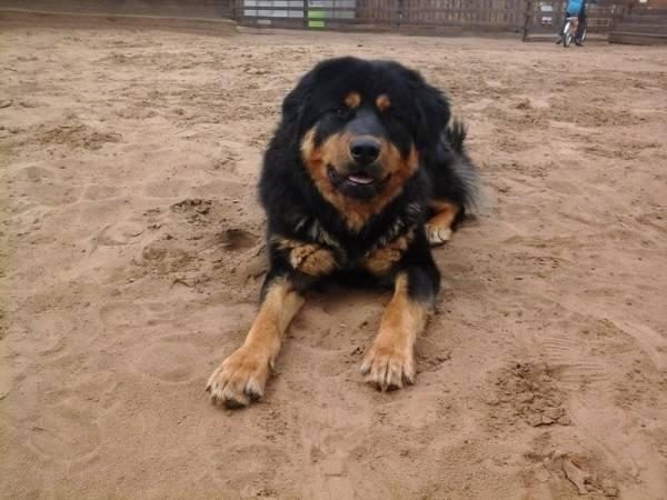 Бурят-монгольский волкодав (хотошо): фото и описание бурят-монгольский волкодав (хотошо): фото и описание