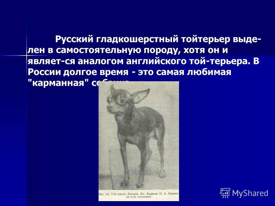 Той терьер собака. описание, особенности, уход и цена той терьера