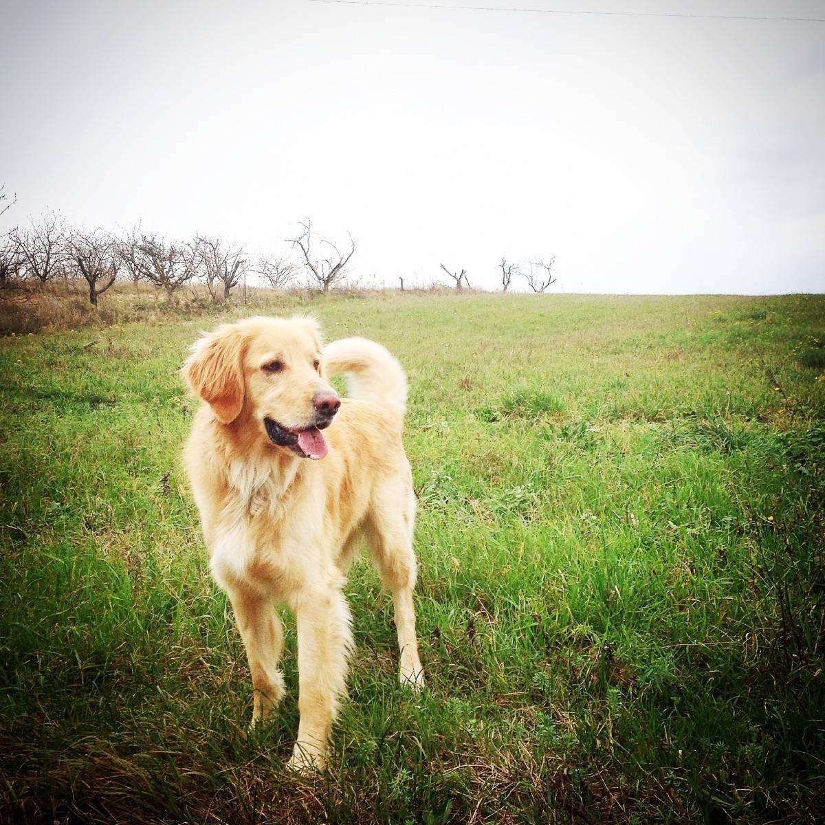 Домашний страж ховаварт — порода собак из германии: описание экстерьера, характер и навыки. ховаварт: происхождение, темперамент, основы ухода