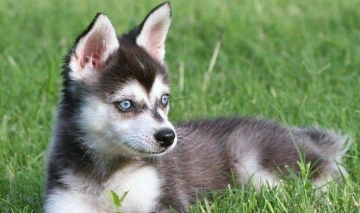 Аляскинский кли-кай (46 фото): как называется порода мини-хаски? как выглядят маленькие собаки? отзывы владельцев