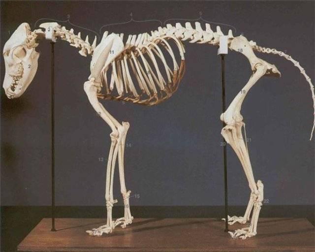 Анатомия собаки — внешнее и внутреннее строение тела