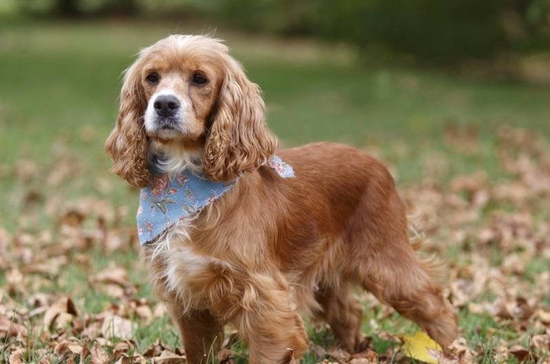 Кокапу – декоративная порода: описание внешнего вида собаки, характера и поведения, правила ухода и содержания