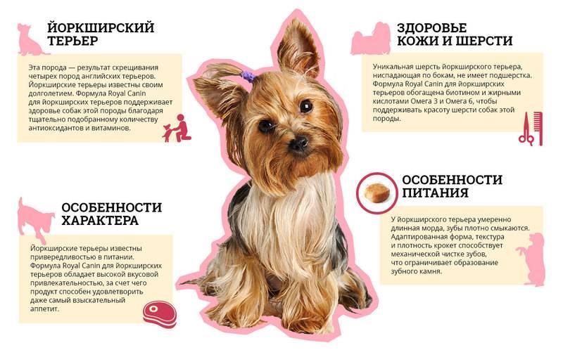 Особенности ухода за щенками чихуахуа в домашних условиях