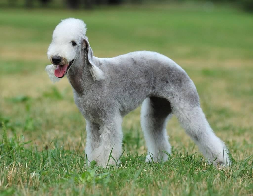Бедлингтон-терьер (фото): собака в овечьей шкуре