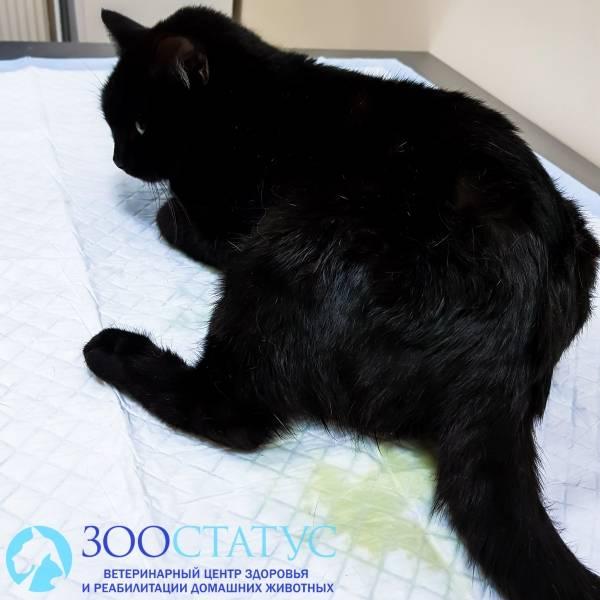 Кот не может пописать (сходить в туалет): что делать в домашних условиях, первая помощь