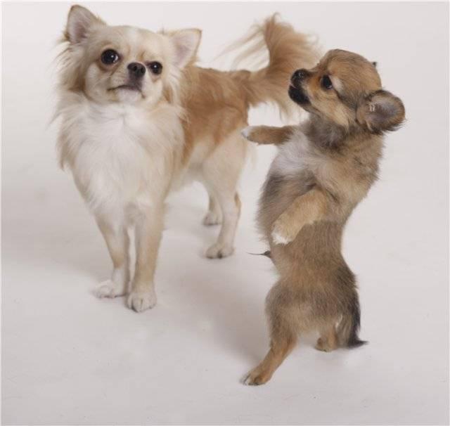 Дрессировка чихуахуа: как воспитывать щенка в домашних условиях, приучить к туалету, научить командам
