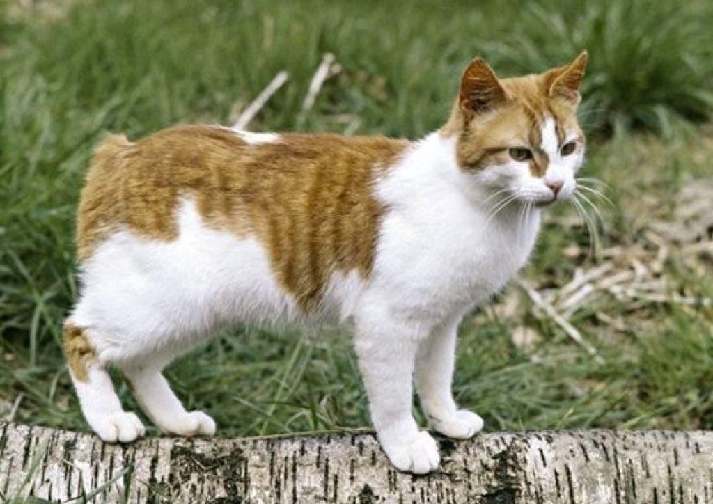8 пород кошек без хвоста: описание и характеристики, фото