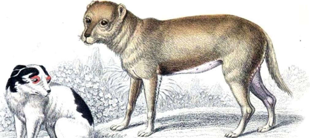 Чихуахуа история возникновения и становления породы