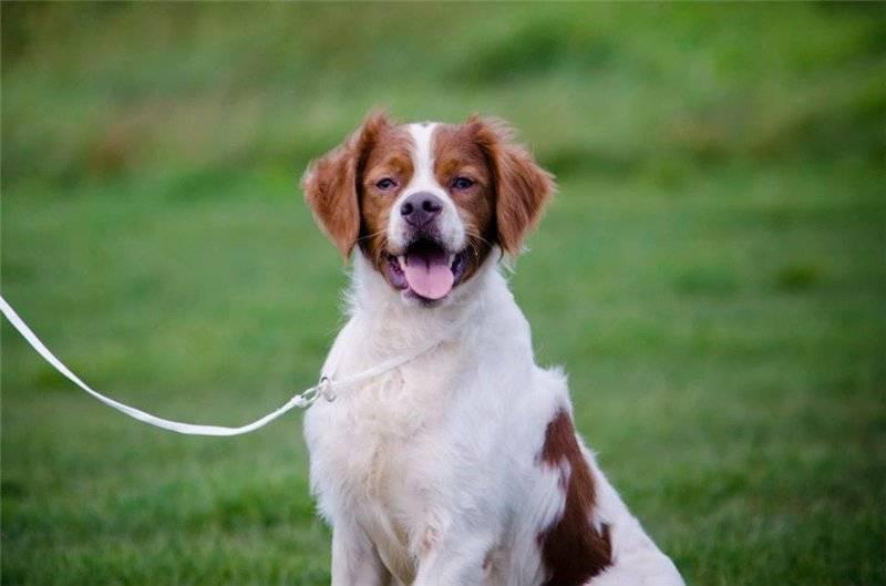 Бретонский эпаньоль (британи) — описание породы собак