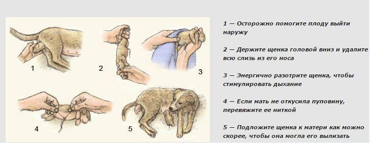 Особенности течки у собак: длительность, первая течка, уход за питомцем