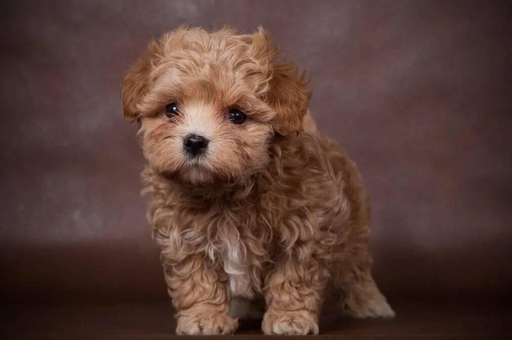 Мальтипу: полный обзор породы собак с фото и видео