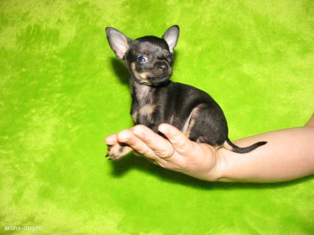 Как выглядят щенки той-терьера: развитие по дням в первый месяц и как правильно воспитывать
