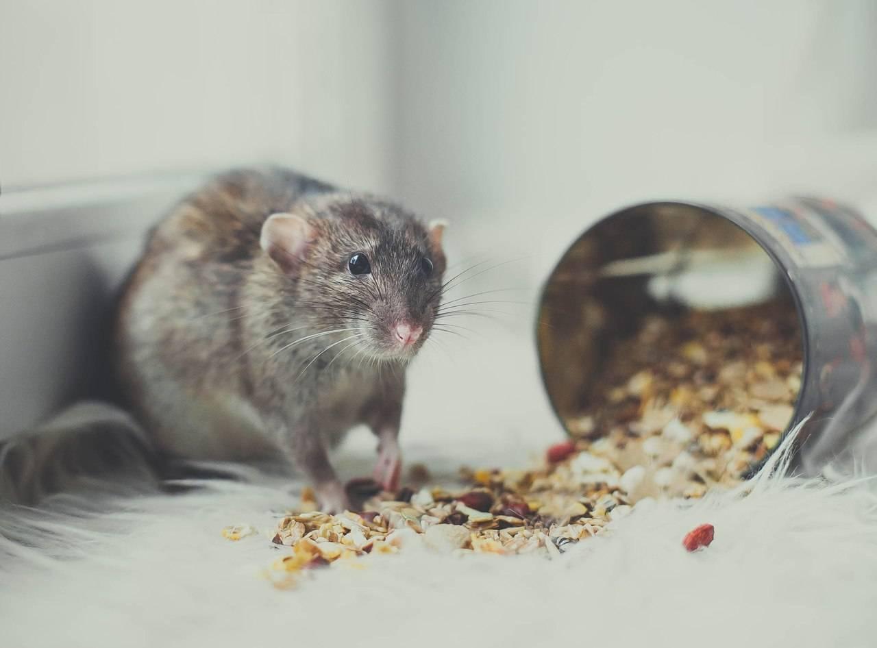 Что едят мыши в домашних условиях, состав сбалансированного рациона 2020