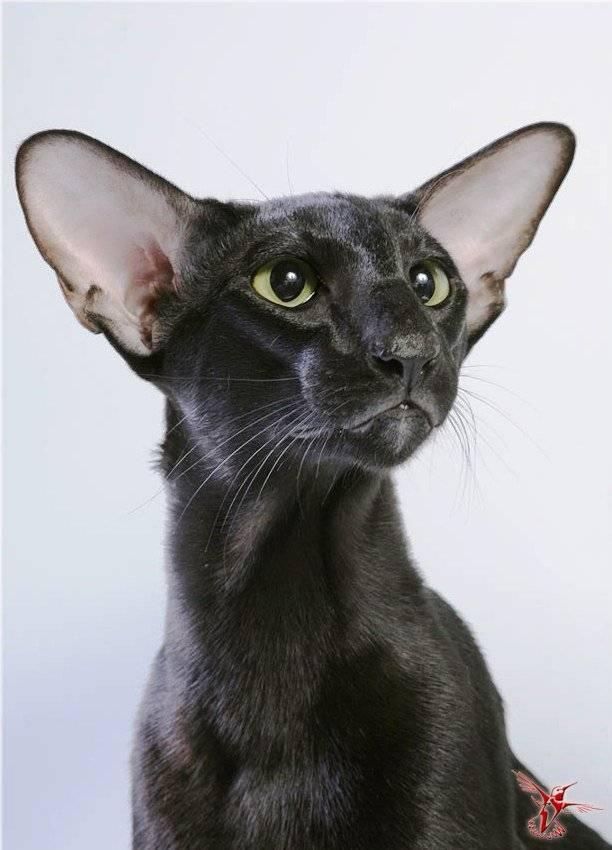 Кошки с большими ушами