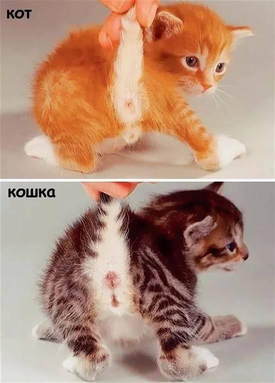 Как определить пол котенка: основные отличия кота от кошки