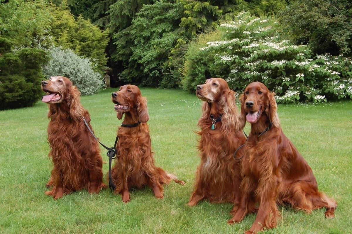 Ирландский сеттер: фото, описание породы, характер и цены