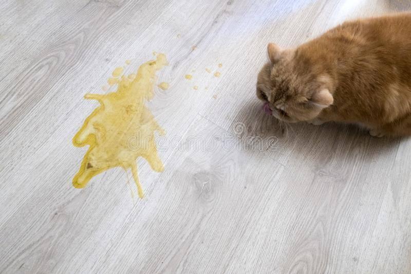 Белая пена в рвоте у кошки: причины и как лечить в домашних условиях