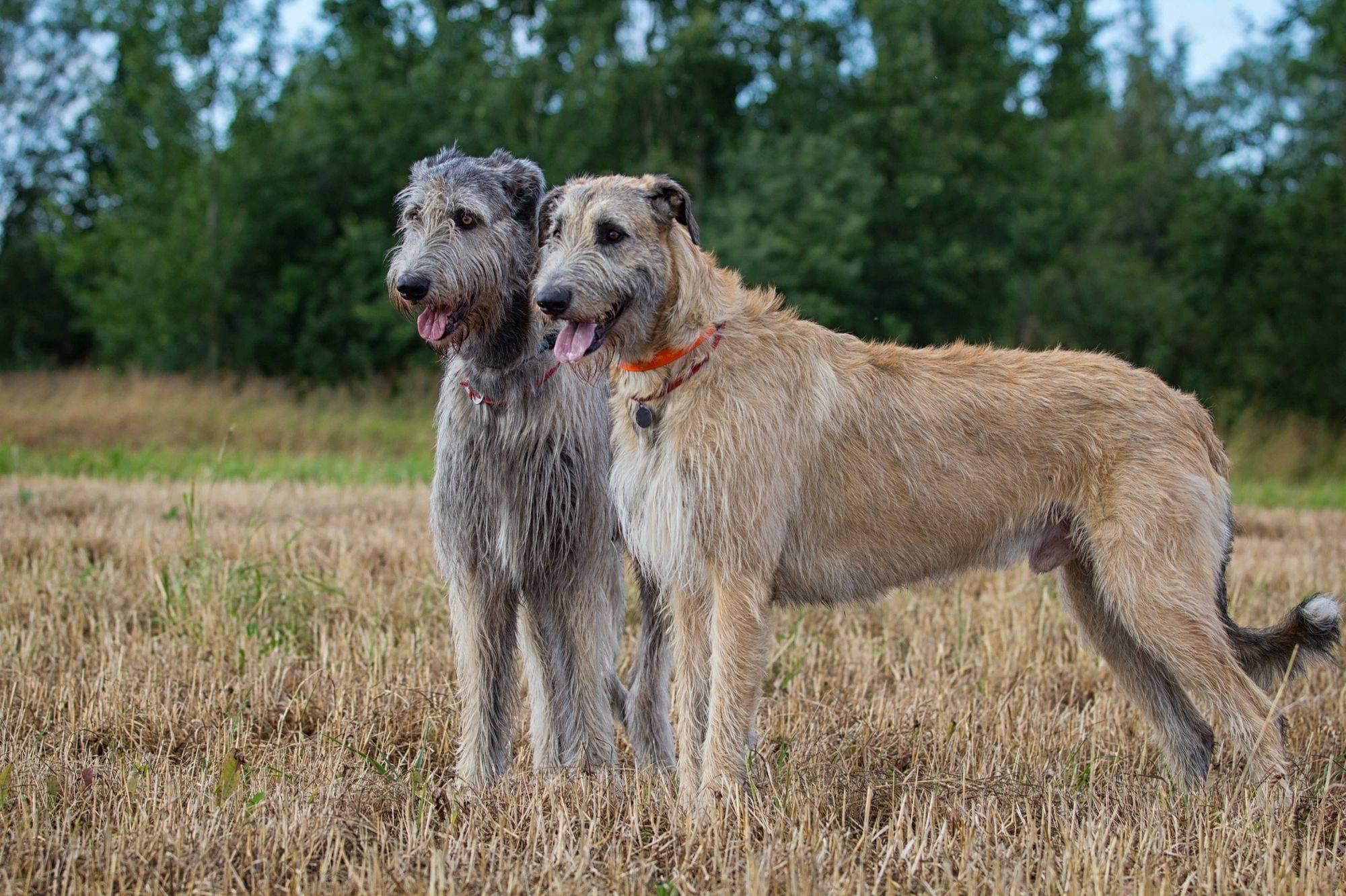 Сторожевые породы собак для охраны частного дома и квартиры с названиями и фотографиями | petguru