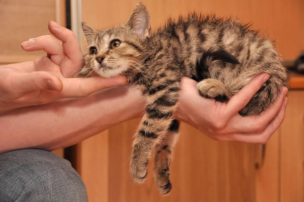 Воспитание котенка в домашних условиях   как воспитывать котят