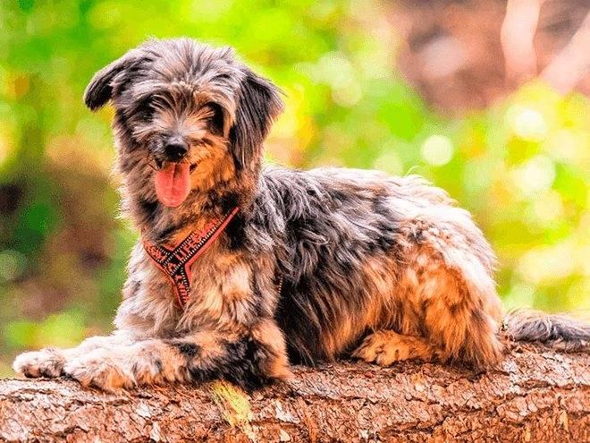 Пиренейская горная собака: описание породы, содержание и уход, фото