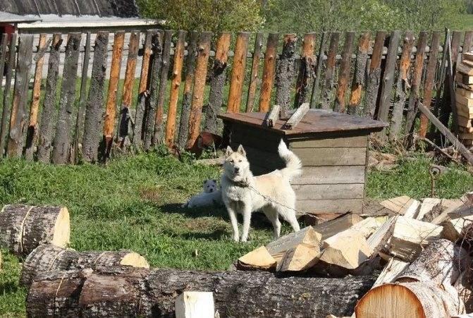 Примета: собака воет (лает) дома, во дворе, на улице, ночью, днем
