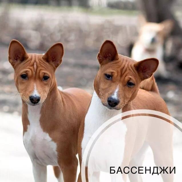 Собака басенджи – особенности, характер, окрасы, плюсы и минусы питомца, полезные советы владельцам