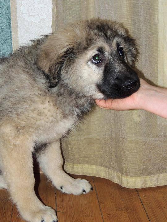 Кавказская овчарка (кавказский волкодав, кавказская сторожевая)