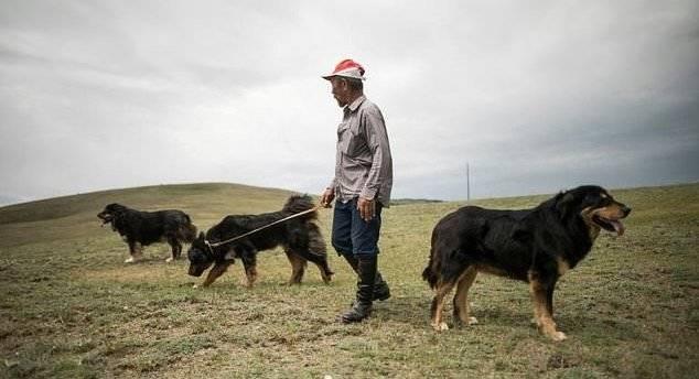 Монгольский банхар – гигантский добряк со свирепым видом