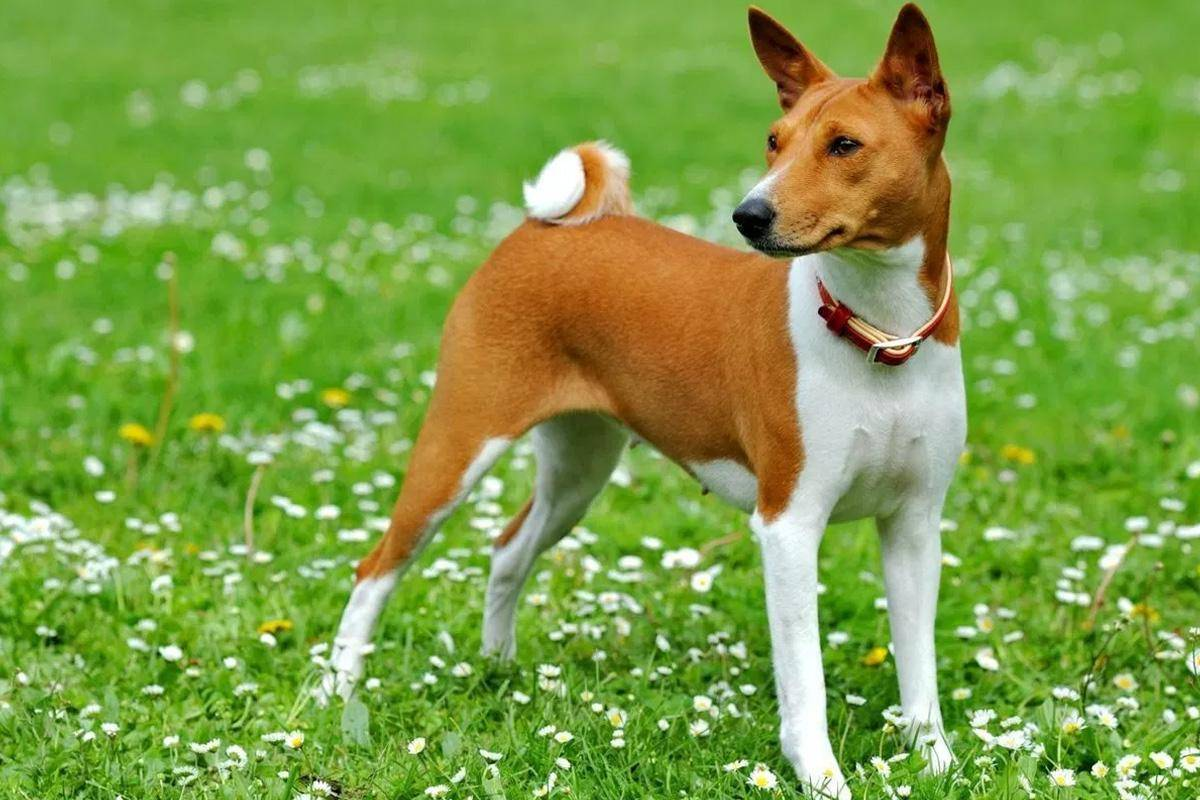 Собака басенджи: фото, описание породы, цена, характер, видео, питомники. - petstime.ru