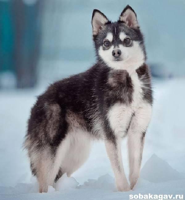 Аляскинский кли-кай: характеристика породы