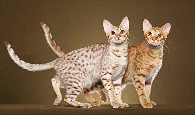 2оцикет – домашняя кошка с диким рисунком и почти собачьим характером.