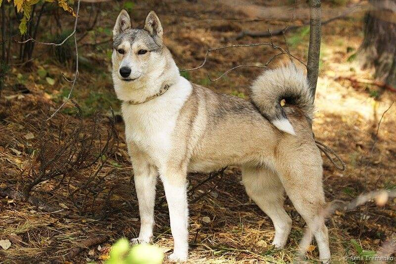 Настоящий абориген северных народов: знакомство с породой собак якутская лайка