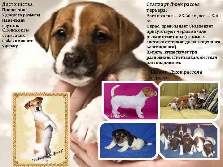 Мини джек-рассел-терьер: история появления, принятые стандарты, характер собак, продолжительность жизни, особенности ухода + фото