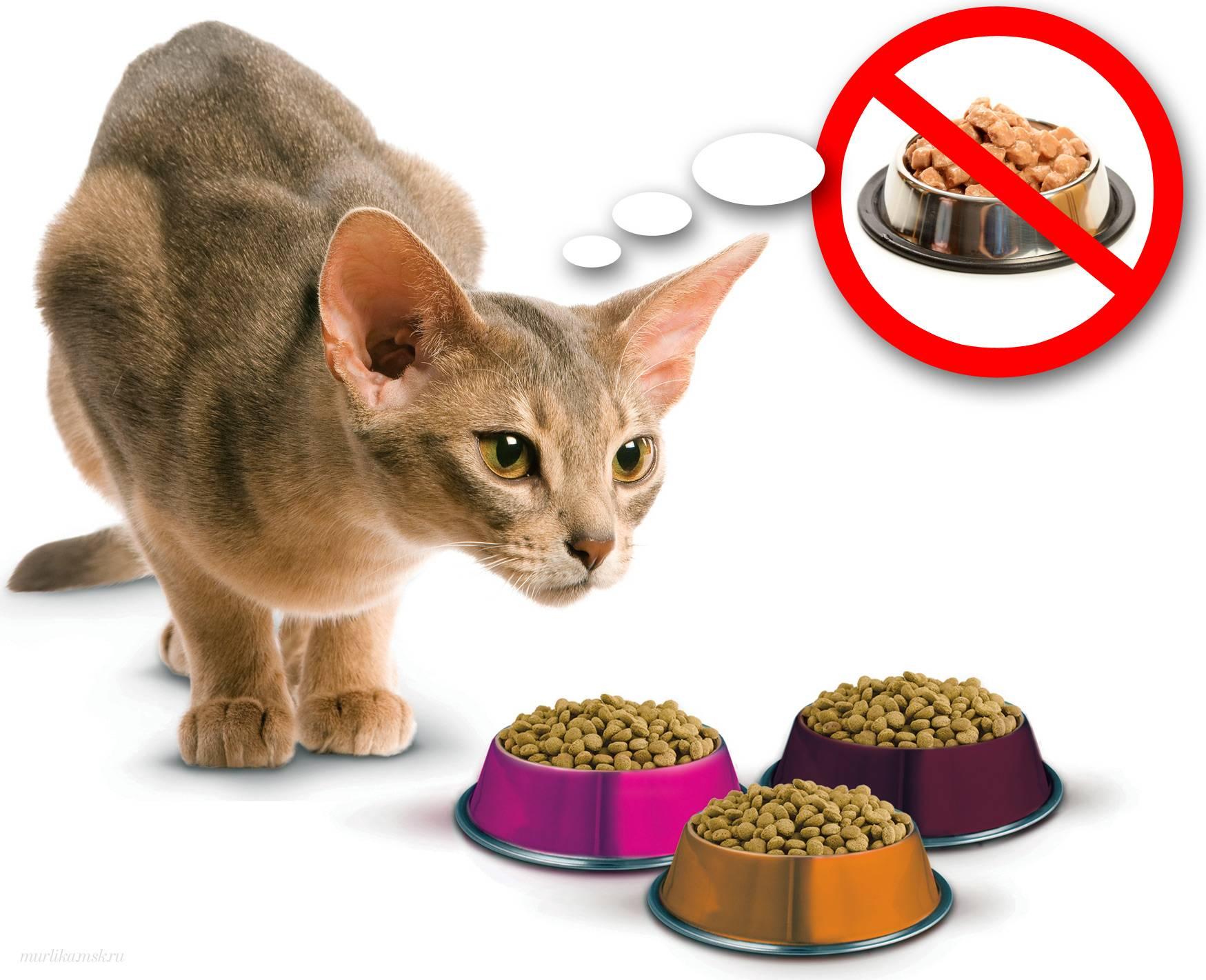 Кошка отказывается от еды: нужно ли «поднимать» тревогу